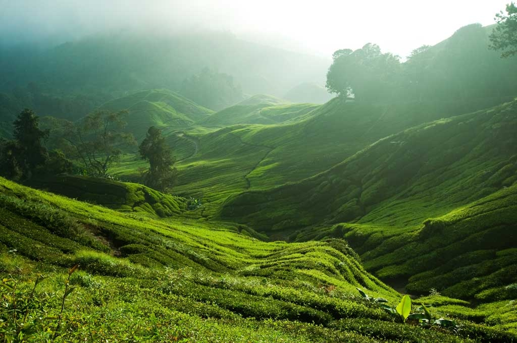 Sungai Balas Tea Plantation Cameron Highlands.jpg